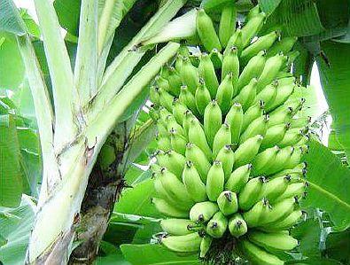banana25